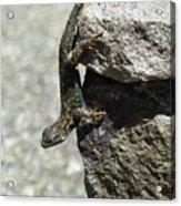 D7b6335 Western Fence Lizard, Male, Sonoma Mountain, Ca Acrylic Print