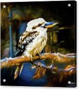 Kookaburra Dacelo Novaeguineae Acrylic Print