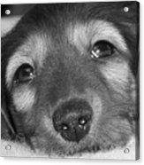 Dachshund Puppy Acrylic Print
