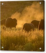 Daddy Bull And The Rut Acrylic Print