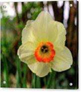 Daffadlil Flower Acrylic Print