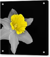 Daffo The Dilly Isolation Acrylic Print