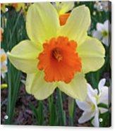 Daffodil 0796 Acrylic Print