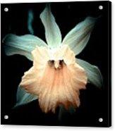 Daffodil #19 Acrylic Print