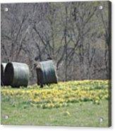 Daffodil Bales Acrylic Print