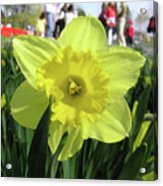 Daffodil Close Up Acrylic Print by Richard Mitchell