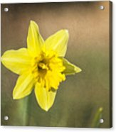 Daffodil Composite Acrylic Print