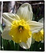 Daffodil Days Acrylic Print