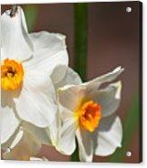 Daffodil Dazzle Acrylic Print