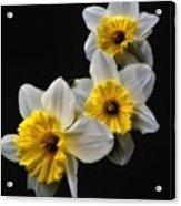Daffodil Dream Acrylic Print
