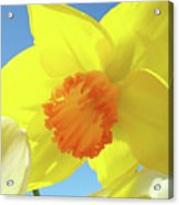 Daffodil Flowers Artwork 18 Spring Daffodils Art Prints Floral Artwork Acrylic Print