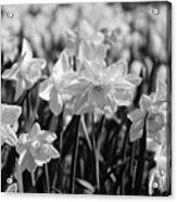 Daffodil Glow Monochrome By Kaye Menner Acrylic Print
