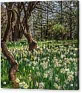Daffodil Hill Gardens Acrylic Print