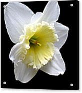 Daffodil On Black Acrylic Print