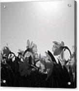 Daffodil Party Acrylic Print