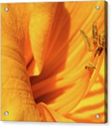 Daffodil - Peeping Tom 05 Acrylic Print
