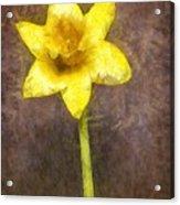 Daffodil Pencil Acrylic Print