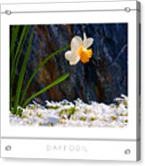 Daffodil Poster Acrylic Print