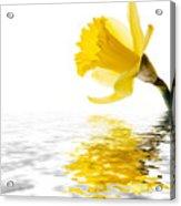 Daffodil Reflected Acrylic Print by Jane Rix