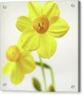 Daffodil Strong Acrylic Print