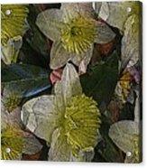 Daffodil Study Acrylic Print