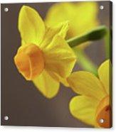 Daffodil Sunrise Acrylic Print