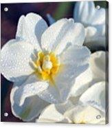 Daffodil Up Close Acrylic Print