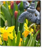 Daffodils 1 Acrylic Print