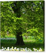 Daffodils And Narcissus Under Tree Acrylic Print