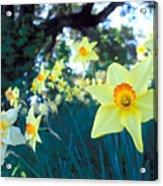 Daffodils And The Oak 2 Acrylic Print