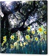 Daffodils And The Oak Acrylic Print
