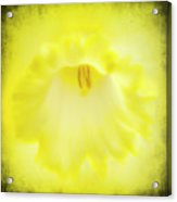 Daffodils Are Yellow Acrylic Print by Meirion Matthias
