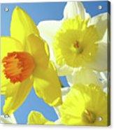 Daffodils Art Print Floral Sky Bouquet Daffodil Flower Baslee Acrylic Print
