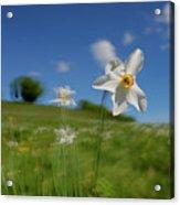 Daffodils Blossimg At Cavalla Plains 2017 I - Fioritura Dei Narcisi Al Pian Della Cavalla 2017 Acrylic Print