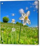 Daffodils Blossimg At Cavalla Plains 2017 II - Fioritura Dei Narcisi Al Pian Della Cavalla 2017 Acrylic Print