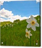 Daffodils Blossimg At Cavalla Plains 2017 Iv - Fioritura Dei Narcisi Al Pian Della Cavalla 2017 Acrylic Print