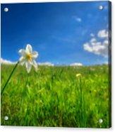 Daffodils Blossimg At Cavalla Plains 2017 Vi - Fioritura Dei Narcisi Al Pian Della Cavalla 2017 Acrylic Print