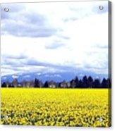 Daffodils By The Million Acrylic Print