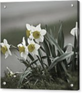 Daffodils Desaturated Acrylic Print