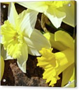 Daffodils Flower Bouquet Rustic Rock Art Daffodil Flowers Artwork Spring Floral Art Acrylic Print