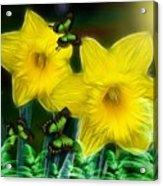 Daffodils In The Garden Acrylic Print