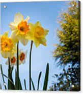 Daffodils In The Sky Acrylic Print
