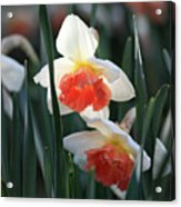 Daffodils Spring Is Here Acrylic Print