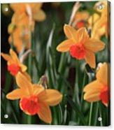 Daffodils Acrylic Print by Tracy Hall