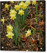 Daffodils With A Purple Flower Acrylic Print