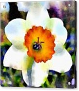 Daffy Down Dilly Acrylic Print