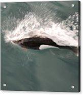 Dahl Dolphin Acrylic Print