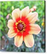 Dahlia Acrylic Print