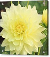 Dahlia Blossom Yellow Acrylic Print