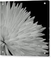 dahlia BnW Acrylic Print